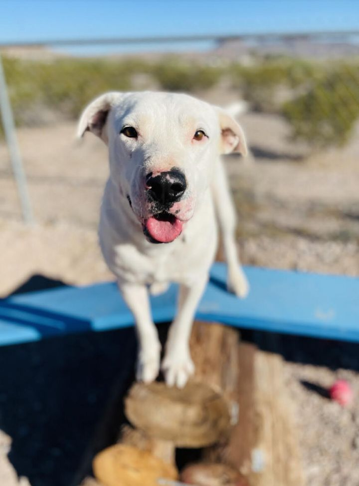 Spot-a-kiss, an adoptable Terrier Mix in Williamsburg, NM