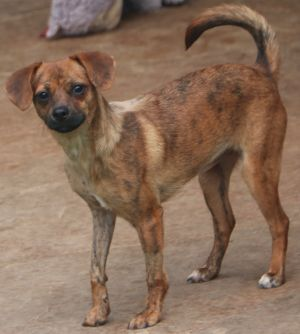 Aruba is a chihuahua mix she is approx 9 months old as of October 2020 When we rescued her she