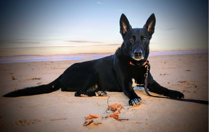 Joe (Seville), an adoptable German Shepherd Dog in Chicago, IL_image-5