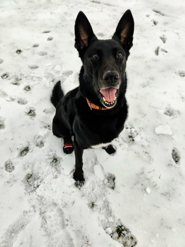 Joe (Seville), an adoptable German Shepherd Dog in Chicago, IL_image-6