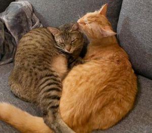 Corsica Tabby Cat