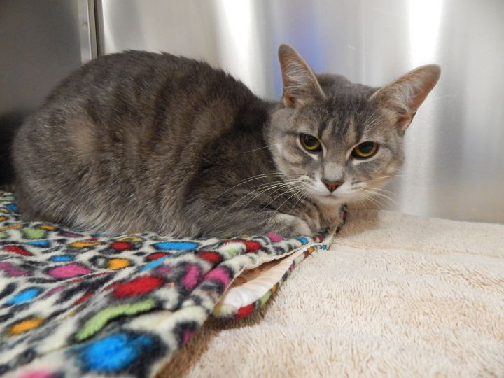 Anna, an adopted Domestic Short Hair in Mesquite, NV