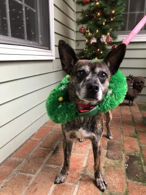 Meet Henry My name is Henry and I am a 1 year old Boston Terrier Chi mix from South Carolina