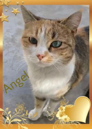 Angel is a beautiful sweet 1 year old cat and would make a great addition to a forever home Angel