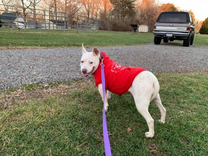 Lizz, an adoptable American Staffordshire Terrier Mix in Conover, NC