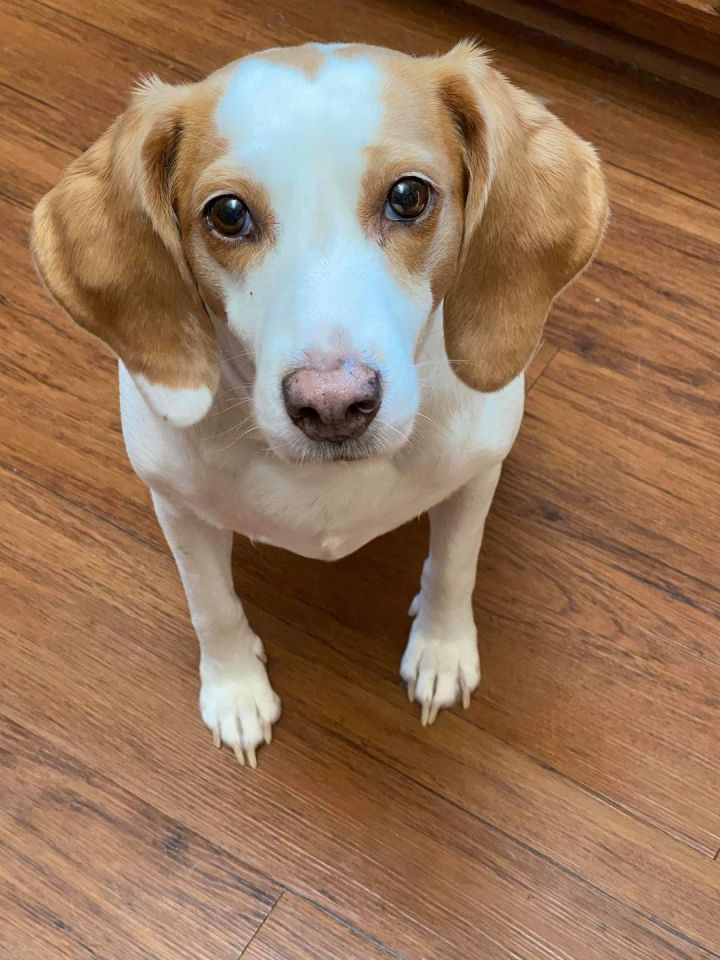 Boo Boo, an adoptable Beagle in Knoxville, TN