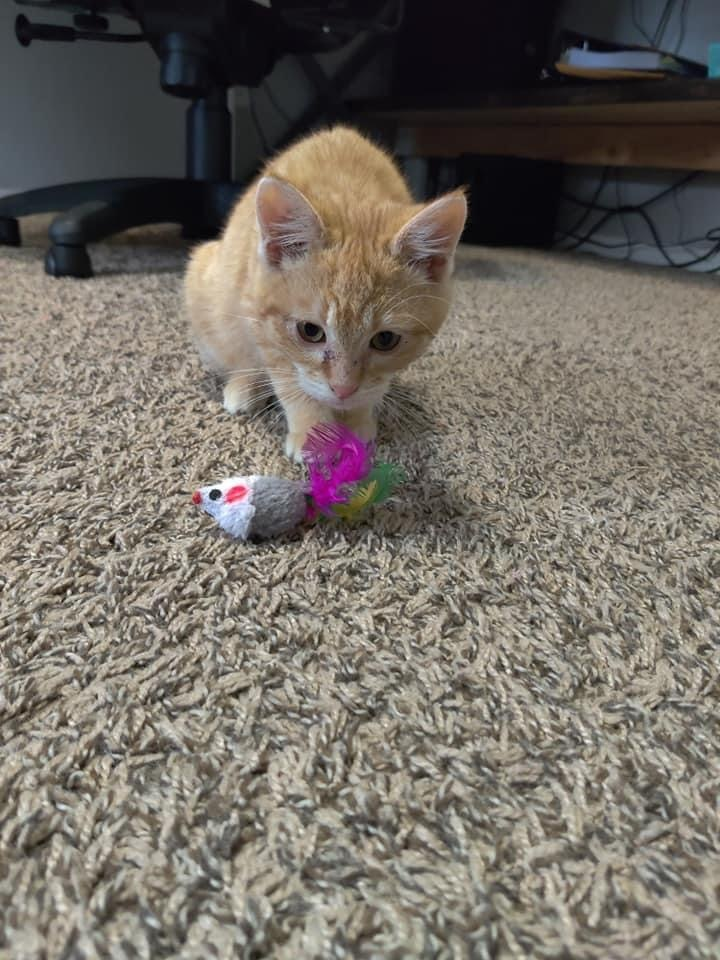 General, an adopted Domestic Short Hair Mix in Springfield, MO