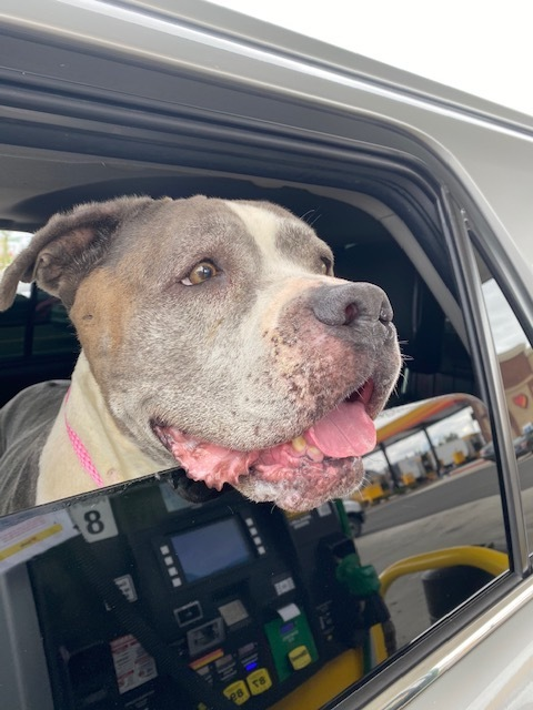 Dog For Adoption Belle Needs A Foster Or Adopter A Pit Bull Terrier Mix In Tacoma Wa Petfinder