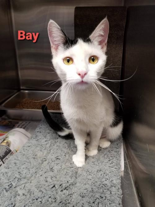 Bay(f), an adoptable Domestic Short Hair Mix in Bridgewater, NJ