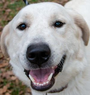 Your love was worth the wait Obie is a handsome 75 lbs Great Pyrenees male Obie is very shy when