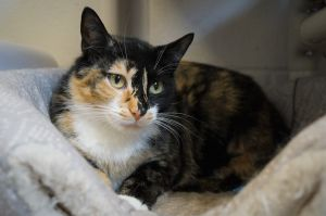 Tina is a spayed female tortie and about 2 years old She was brought in as a local stray with