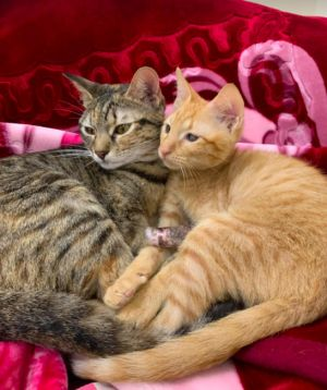 These two inseparable kitties met in foster care and are now a bonded pair Both