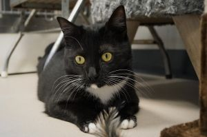 Sylvia Domestic Short Hair Cat