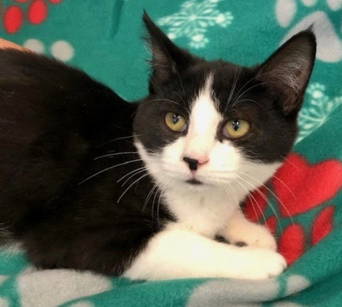 Linguine, an adoptable Domestic Short Hair in Greenburgh, NY