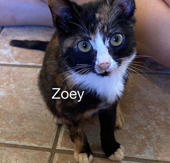 Zoey, an adoptable Calico & Domestic Short Hair Mix in Miami, FL_image-2