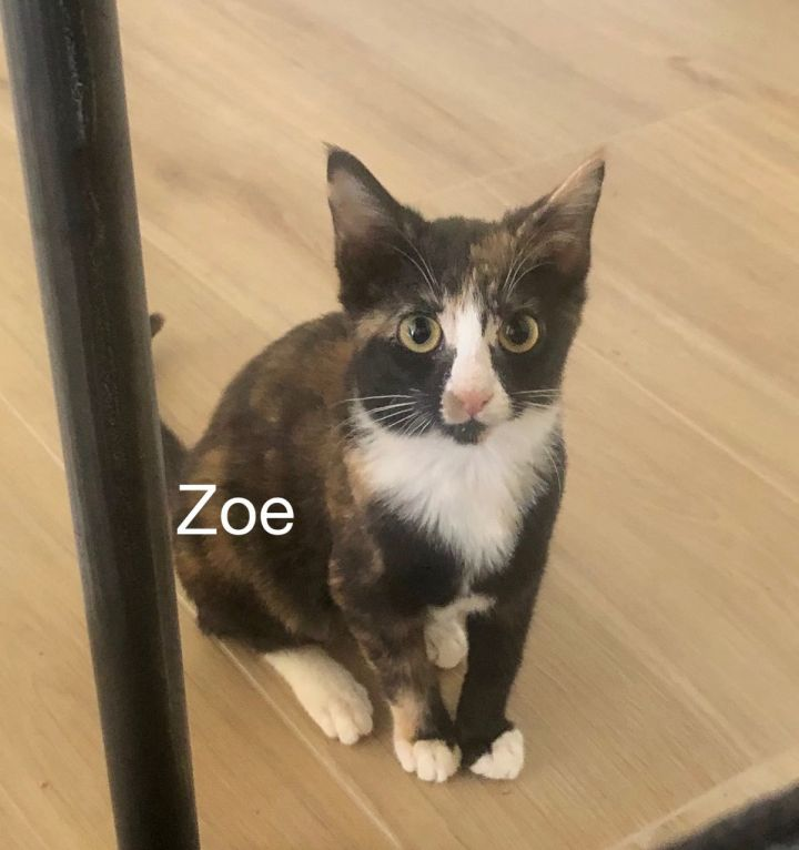 Zoey, an adoptable Calico & Domestic Short Hair Mix in Miami, FL_image-1