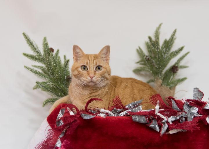 Autumn, an adoptable Domestic Short Hair Mix in Springfield, MO