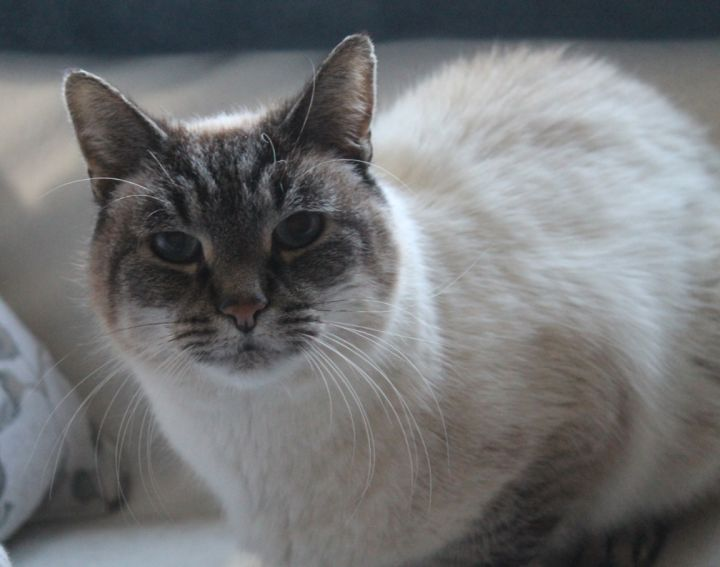 Cat For Adoption Fortune D Fortune D Has One Adoption Application Lynx Point Siamese Very Affectionate A Siamese Domestic Short Hair Mix In Stowe Pa Petfinder
