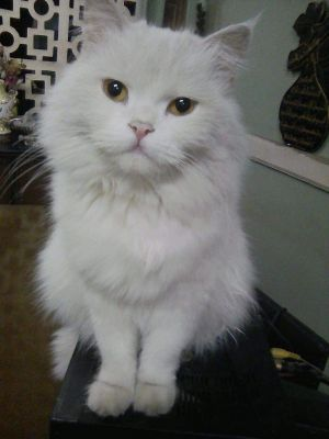 Roma and Raso are two beautiful all white baby doll Persian cats that are travel