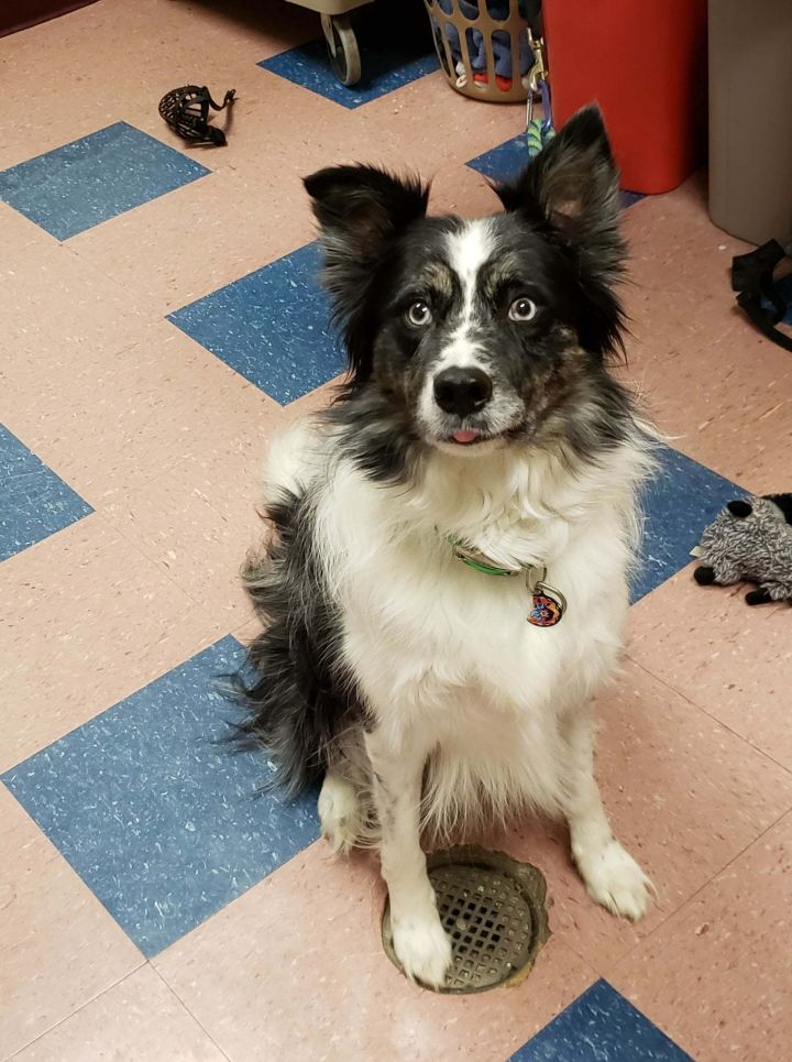 Sean, an adoptable Border Collie in Chestertown, MD