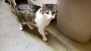 Libby is a 4 year old female cat Shes very affectionate and loves to rub up up
