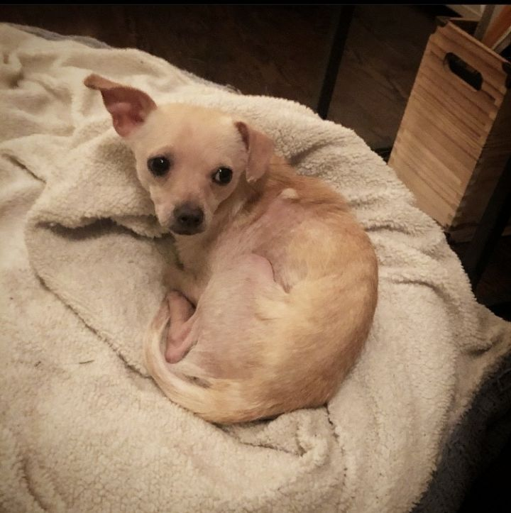 Meep, an adoptable Chihuahua Mix in Staten Island, NY