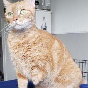 Penelope Domestic Short Hair Cat