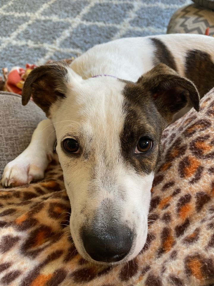Ian, an adopted Terrier & Pointer Mix in Omaha, NE