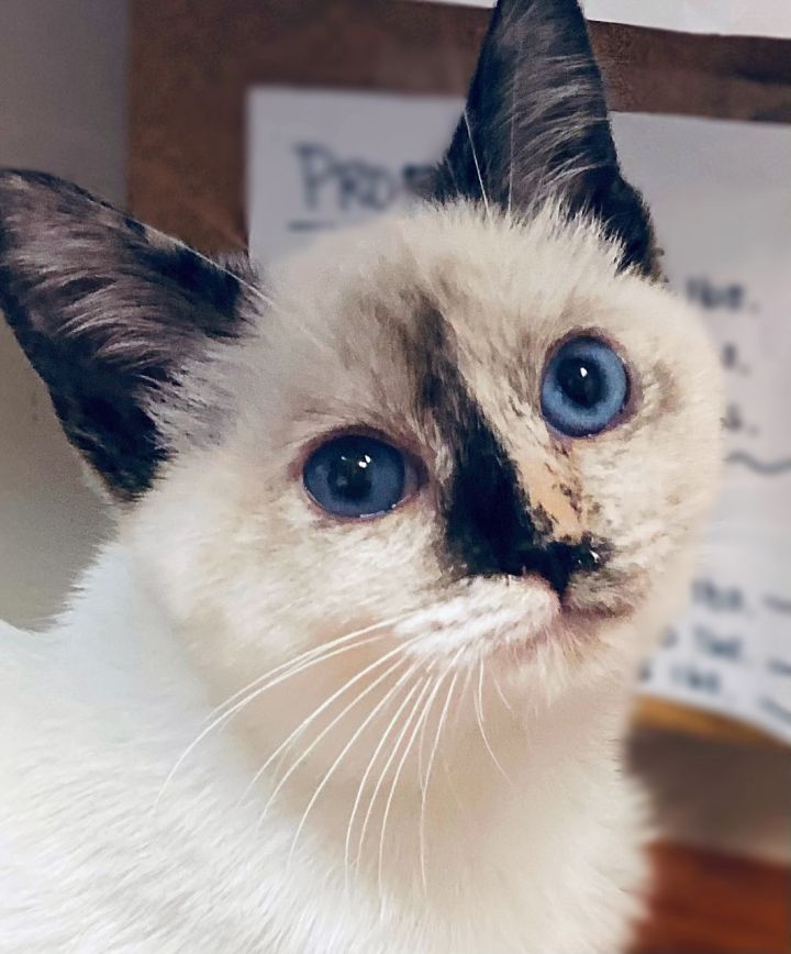 Pawdrey Hepburn, an adopted Siamese in Los Alamitos, CA