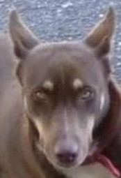 Zara is a nine month-old Doberman Pinscher mix rescued from Puerto Rico If inte