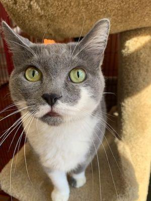 Celia Domestic Short Hair Cat