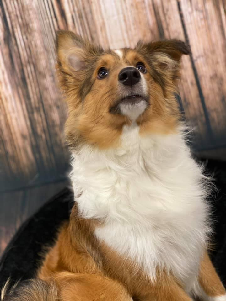 Biscuit, an adopted Shetland Sheepdog / Sheltie in Rochester, NY