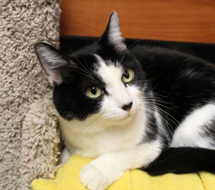 Po, an adoptable Domestic Short Hair in Centerville, UT