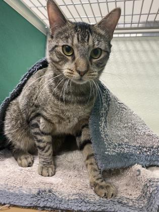 Potter, an adoptable Domestic Short Hair in Clarks Summit, PA