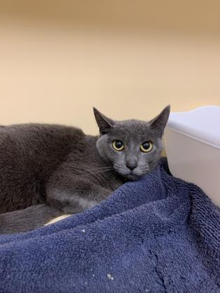 Brooklyn, an adoptable Domestic Short Hair in Clarks Summit, PA