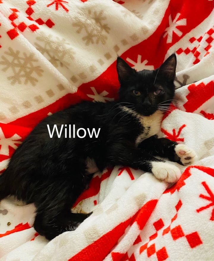 Willow, an adoptable Domestic Short Hair Mix in Miami, FL