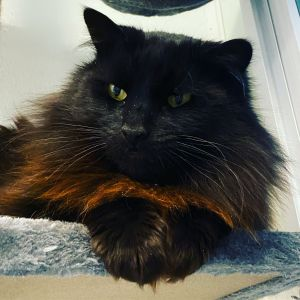 Baby Bear is a beautiful all black medium hair cat whos owner passed away and left him and his hous