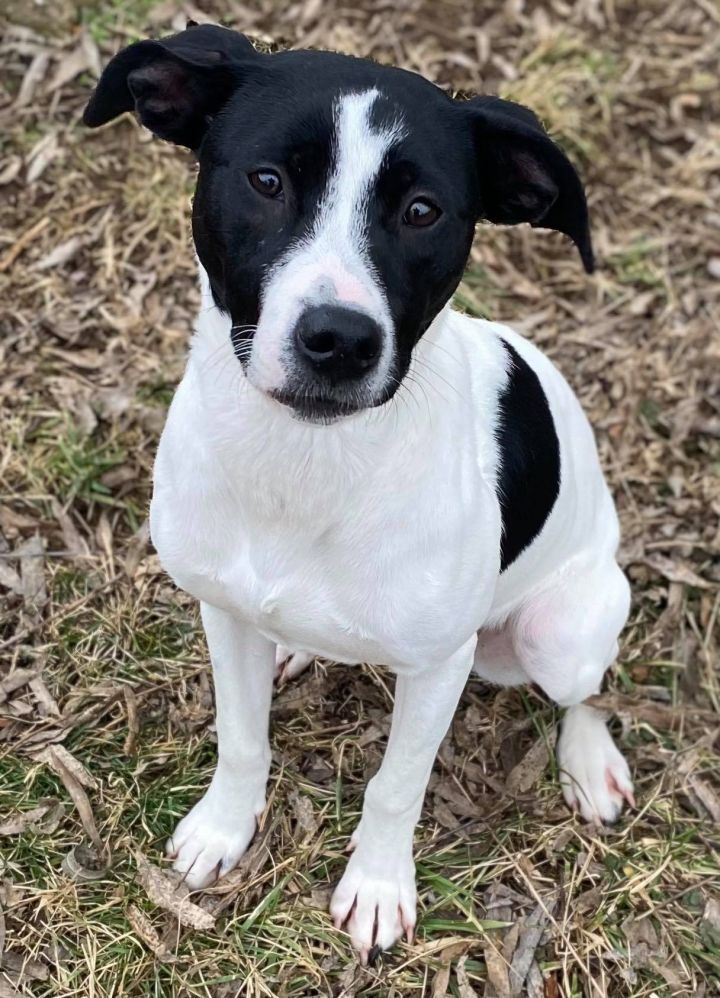 Silvia, an adoptable Terrier Mix in Owensboro, KY