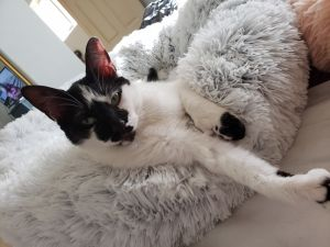 Doodlebug-Polydactyl girl Turkish Van Cat
