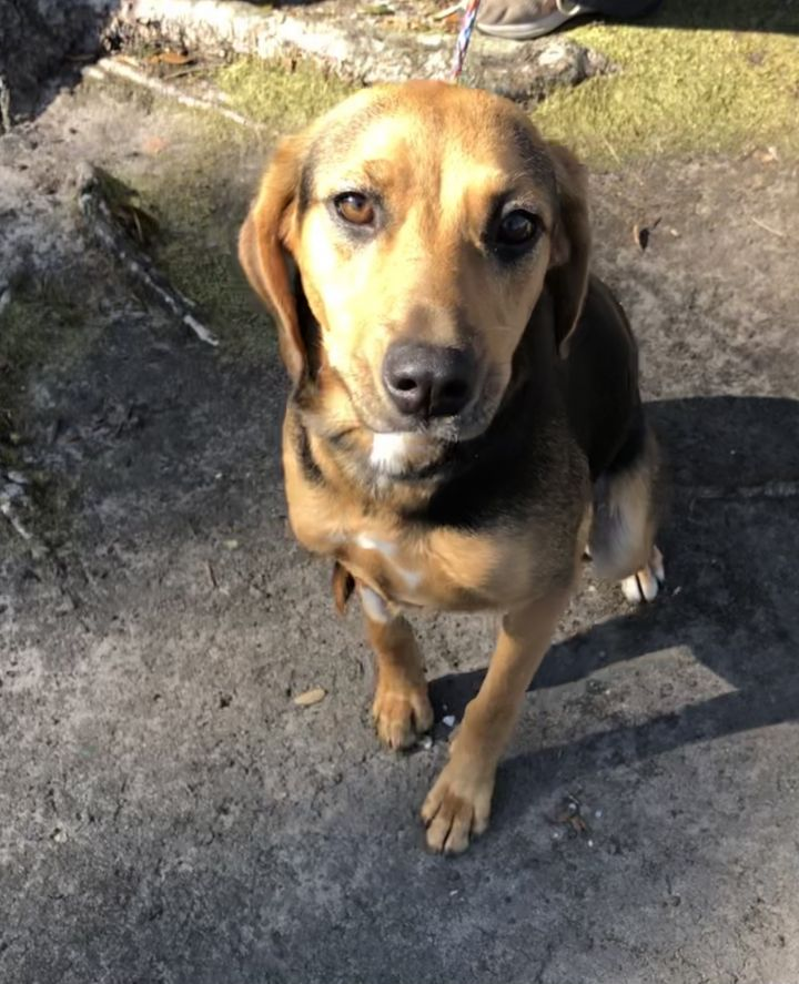 Rose, an adoptable Foxhound Mix in Cantonment, FL