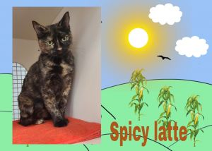 Spicy Latte is a beautiful sweet 2 years old cat and would make a great addition to a forever home
