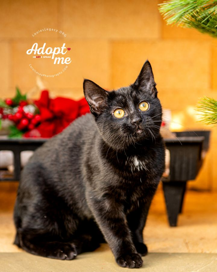 Colby, an adoptable Domestic Short Hair in Cincinnati, OH