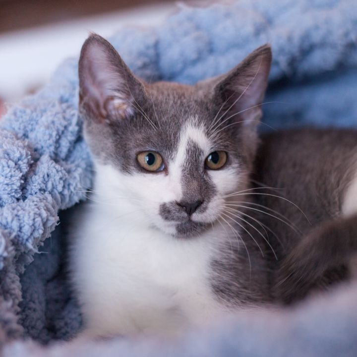 Simona, an adopted Domestic Short Hair in Ponte Vedra, FL