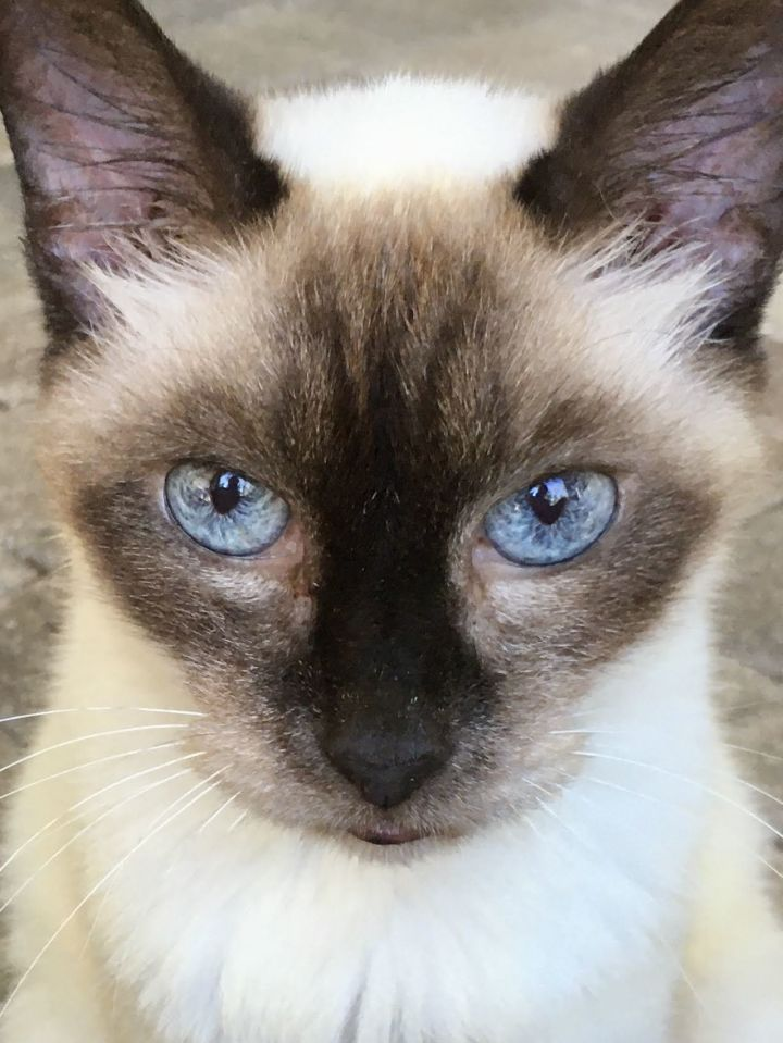 Neela, an adoptable Siamese in Ponte Vedra, FL
