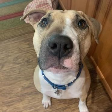 Penelope, an adoptable Bull Terrier & Labrador Retriever Mix in Fort Collins, CO