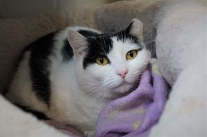 Puffin is a four year old black and white cat who was found as a stray Puffin is scared of