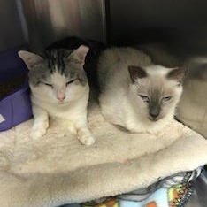It be hard to beat Snocone siamese mix and Rufus for pure adorableness This sweet couple has been