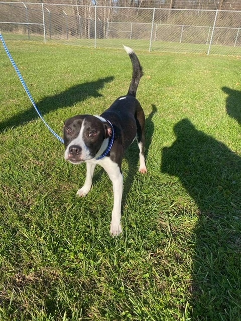 Bruce, an adoptable Labrador Retriever & Pit Bull Terrier Mix in Highland, MD