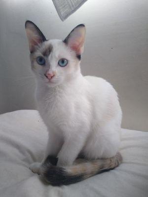 MiKoda and Morticia Siamese Cat