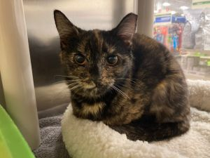 Hey Torti Lovers meet Peaches A beautiful girl approximately one year old She will do best in a q